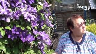 Смотреть онлайн Как правильно посадить и вырастить цветок клематис