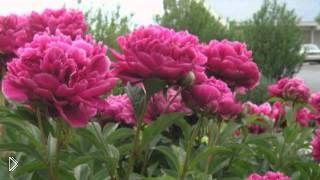Смотреть онлайн Как посадить и вырастить пион из семян