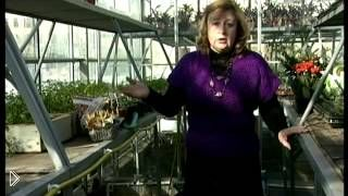 Смотреть онлайн Как и когда правильно сажать тюльпаны весной