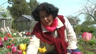 Правильный уход за тюльпанами весной - Видео онлайн