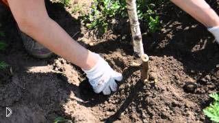 Смотреть онлайн Посадка георгины клубнями весной