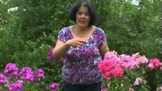 Смотреть онлайн Уход и выращивание многолетних цветов флокс
