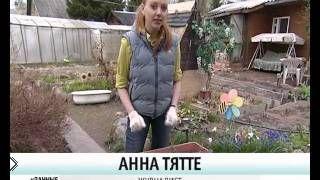 Смотреть онлайн Уход и посадка домашней бегонии на грунт на улице