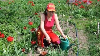 Смотреть онлайн Что делать с тюльпанами после периода цветения
