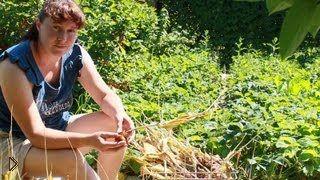Смотреть онлайн Когда выкапывать луковицы тюльпанов после цветения