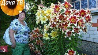 Смотреть онлайн Как правильно посадить на участке гибридную лилию