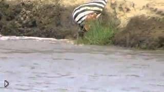 Смотреть онлайн Крокодилы съели зебру на глазах у людей (18+)