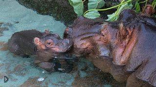 Смотреть онлайн Трехдневный детеныш гиппопотама плавает с мамой