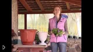 Смотреть онлайн Выращивание и посадка петуньи в кашпо
