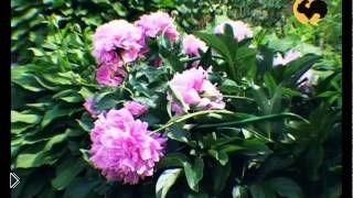 Смотреть онлайн Выращивание и уход за пионами в саду