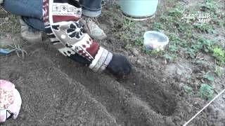 Смотреть онлайн Посадка и выращивание гладиолусов из деток