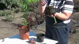 Смотреть онлайн Посадка лилий весной из горшка в открытый грунт