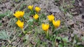Выращивание и уход за крокусами в домашних условиях - Видео онлайн