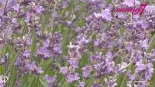 Смотреть онлайн Выращивание лаванды в домашних условиях