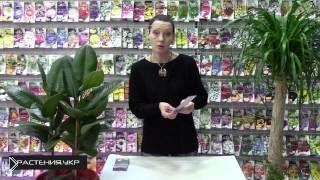 Смотреть онлайн Как правильно посадить и вырастить лаванду из семян