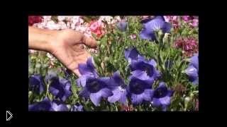 Смотреть онлайн Уход и выращивание колокольчика в домашних условиях