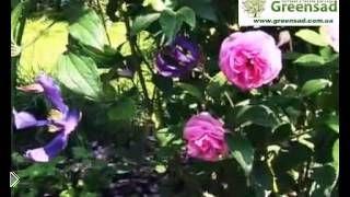 Советы по сочетанию роз с другими цветами - Видео онлайн