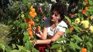 Смотреть онлайн Отзыв как выращивать физалис в домашних условиях