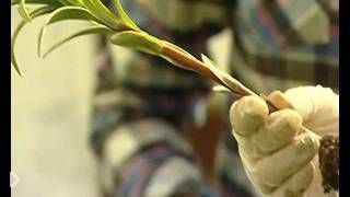 Смотреть онлайн Посадка и уход лилий весной в грунт