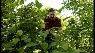 Уход и выращивание декоративного цветка физалис - Видео онлайн