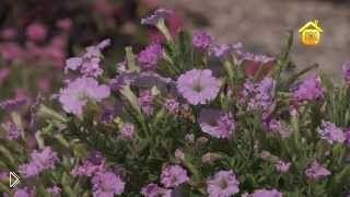 Смотреть онлайн Посадка петуньи из семян. Отзыв о выращиваним и уходе