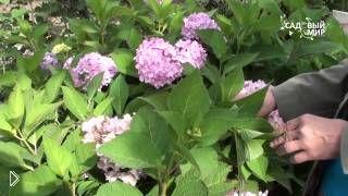 Смотреть онлайн Выращивание и уход за садовой метельчатой гортензией