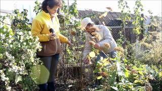 Смотреть онлайн Обрезка садовой древовидной гортензии осенью