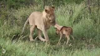 Смотреть онлайн Необыкновенная дружба льва и ягненка