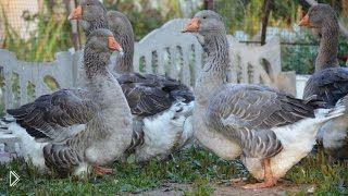 Смотреть онлайн Рассказ фермера о тулузской породе гусей