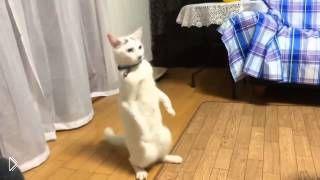 Смотреть онлайн Забавный кот, который ходит на задних лапах