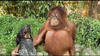 Смотреть онлайн Неожиданная дружба самых разных животных