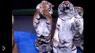 Смотреть онлайн Опасное выступление диких кошек, братья Запашные