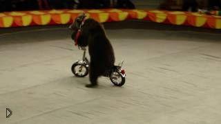 Смотреть онлайн Мишки катаются на велосипедах в цирке