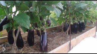 Советы садовода по выращиванию баклажанов и перцев - Видео онлайн