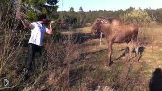 Смотреть онлайн Парень ревом прогнал нападающего лося