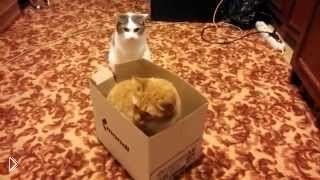 Смотреть онлайн Ожесточенный бой двух котов за коробку