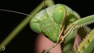 Смотреть онлайн Фильм о богомолах: необычное насекоме