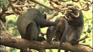 Смотреть онлайн Фильм о приматах: Тайна жизни обезьян