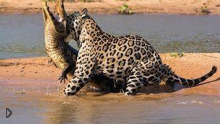 Пантанал: царство ягуаров и кайманов - Видео онлайн