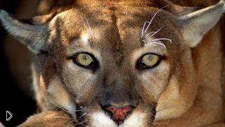 Смотреть онлайн Фильм о диких кошках: Пума