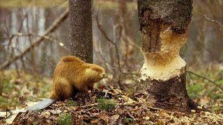 Смотреть онлайн National Geographic, фильм о бобровых плотинах