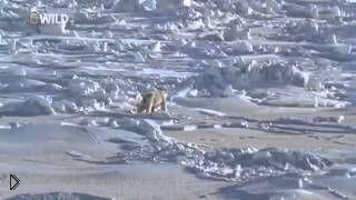 Смотреть онлайн Документальный фильм о животных: Белый медведь