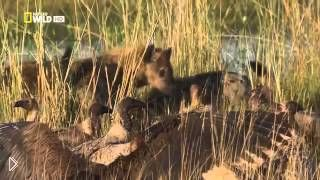 Гиена - царица хищников - Видео онлайн