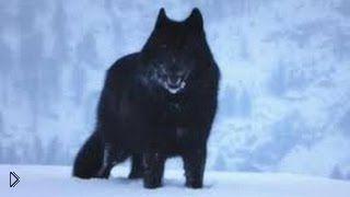 Смотреть онлайн Захватывающая история черного волка