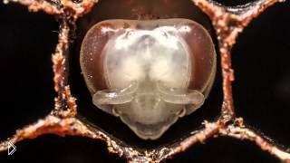 Смотреть онлайн Кадры цикла рождения и созревания осы
