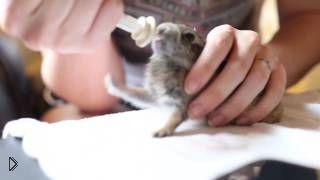 Смотреть онлайн Крохотный кролик наслаждается вкусным молочком
