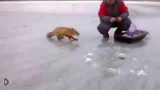 Смотреть онлайн Бесстыжая лиса просит кушать у рыбаков