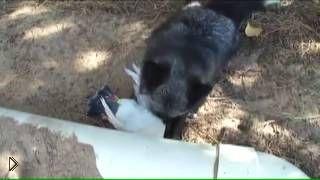 Смотреть онлайн Черный лис радостно смеется поймав голубя