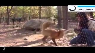Смотреть онлайн Дрессированная лиса прыгает, просит еду