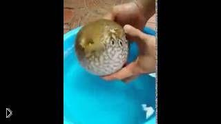 Рыба Фугу раздувается в целях защиты себя - Видео онлайн